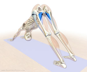Adductor muscles in downward dog